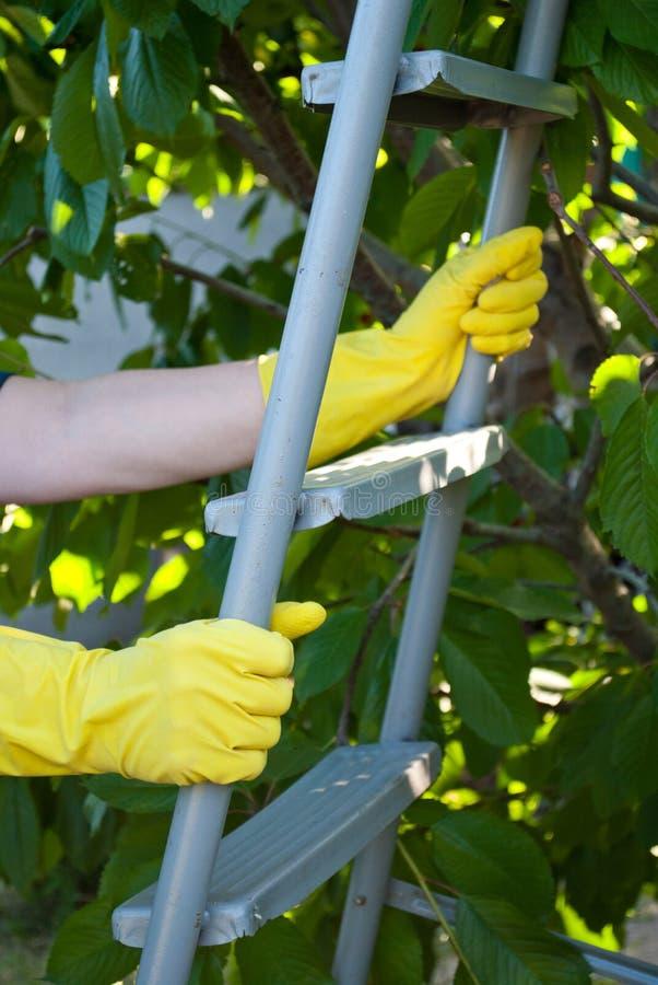 金属梯子活梯步握在黄色橡胶手套,春天收获工作,樱桃树的手留下果子 库存照片
