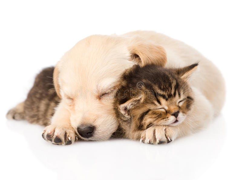 金毛猎犬与英国小猫的小狗睡眠 查出 免版税库存图片