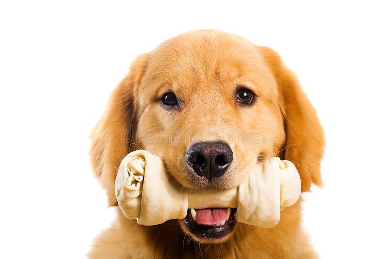 金毛猎犬和骨头 库存照片
