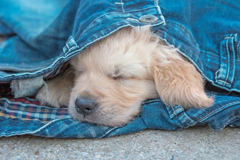金毛猎犬在牛仔布的狗小狗睡觉在地面上的 库存照片