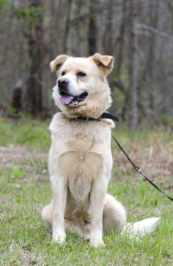 金毛猎犬大比利牛斯周混合狗 免版税库存照片