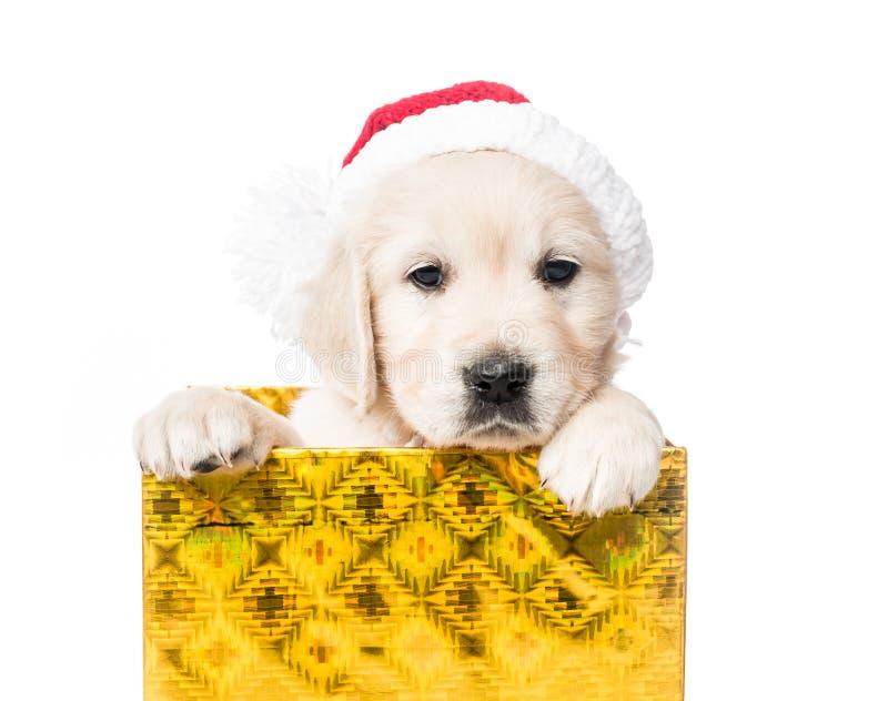 金毛猎犬小狗特写镜头在被隔绝的礼物盒的 库存图片