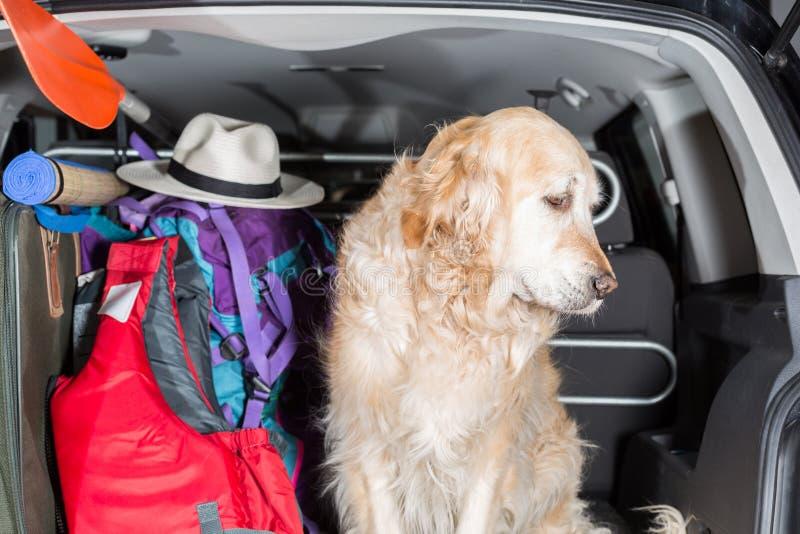 金毛猎犬旅行 免版税库存照片