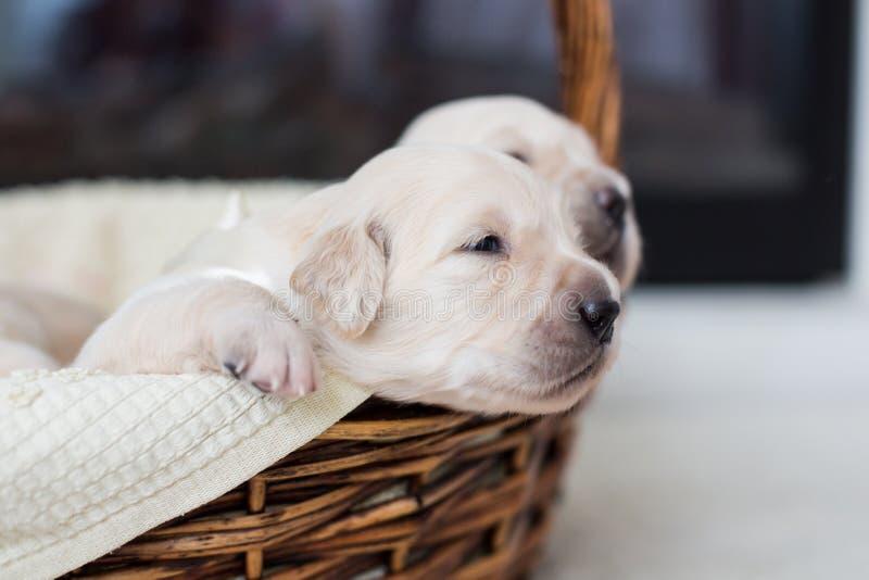 金毛猎犬有白色丝带的男婴设法从篮子逃脱 免版税库存照片