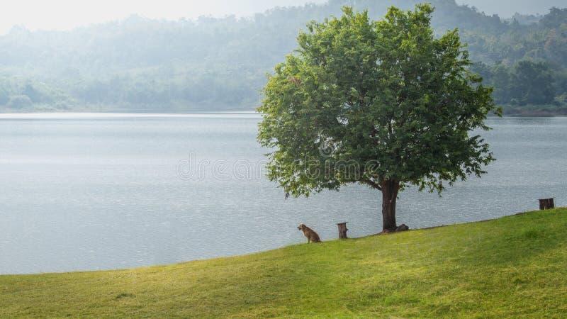 金毛猎犬狗坐草在湖旁边的树附近 库存图片
