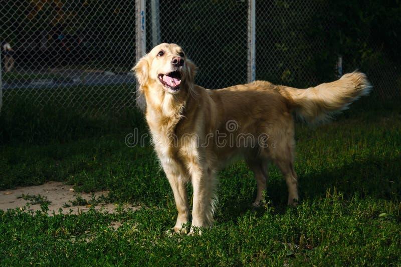 金毛猎犬狗本质上 免版税库存图片