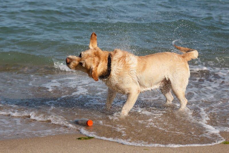 金毛猎犬狗演奏和获得乐趣在海 库存照片