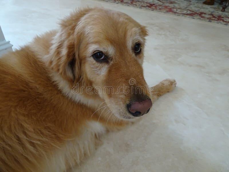 金毛猎犬狗看照相机 免版税图库摄影