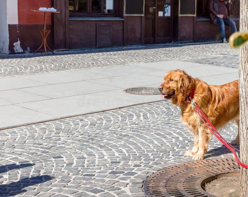 金毛猎犬狗看的和等待的所有者 金毛猎犬狗被栓对树 r 库存图片