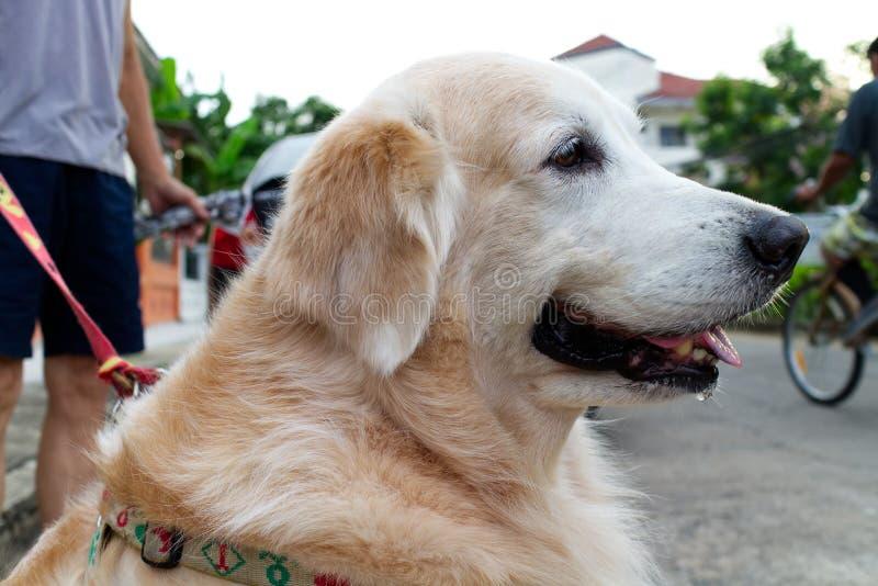 金毛猎犬的面孔特写镜头与在狗脖子四处走动和拿着由狗所有者的皮带的 库存照片