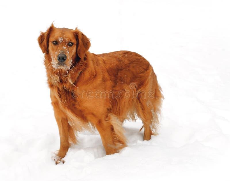 金毛猎犬雪冬天 图库摄影