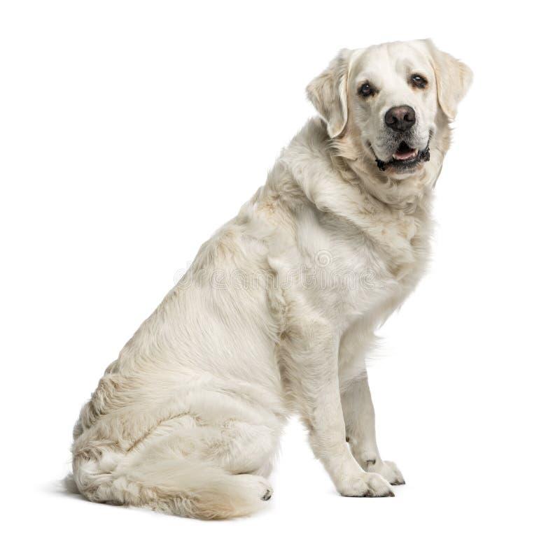 金毛猎犬, 3 5岁,隔绝在白色 免版税库存照片