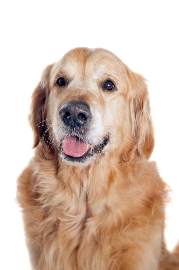Download 金毛猎犬画象 库存图片. 图片 包括有 平静, 前面, 生物, 逗人喜爱, beautifuler, 安静 - 30337167