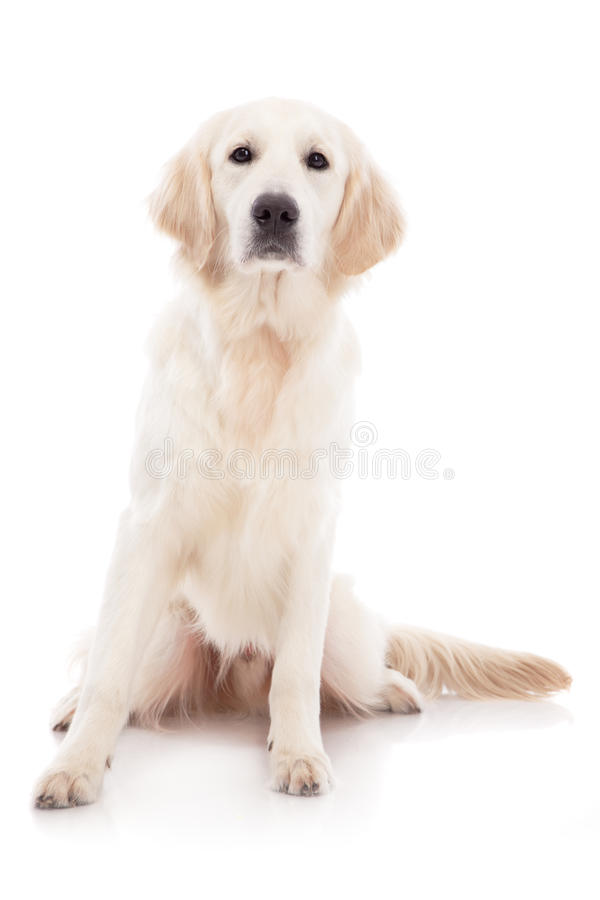 Download 金毛猎犬 库存照片. 图片 包括有 头发, 快乐, 表达式, 敬慕, 朋友, 空白, 哺乳动物, 背包, 棕褐色 - 30335938