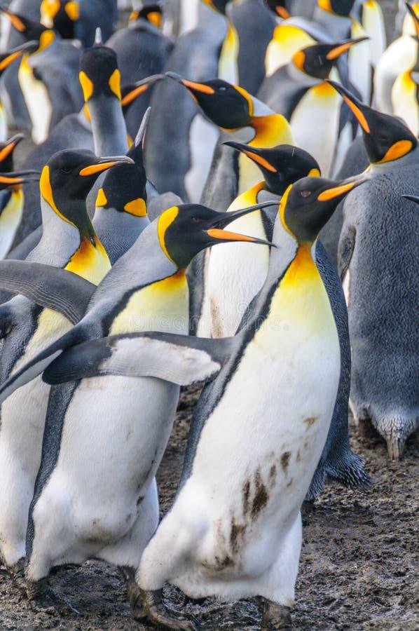 金港口的企鹅国王 库存照片