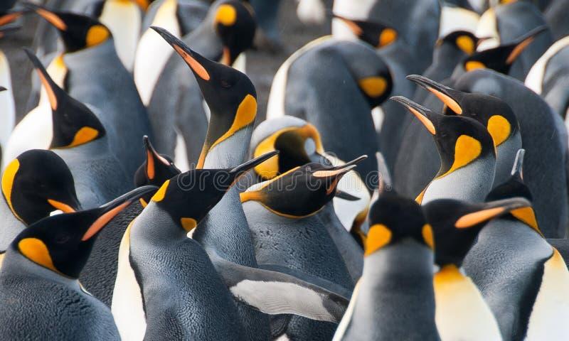 金港口的企鹅国王 图库摄影