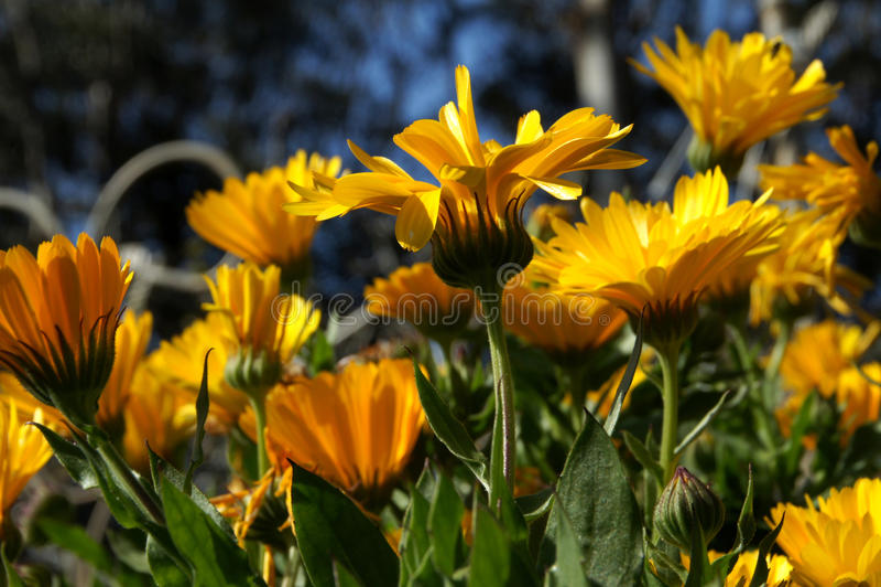 金盏草万寿菊花在北加利福尼亚 库存照片