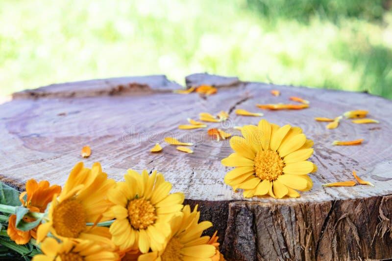 金盏草在木背景的officinalis花本质上 免版税库存照片