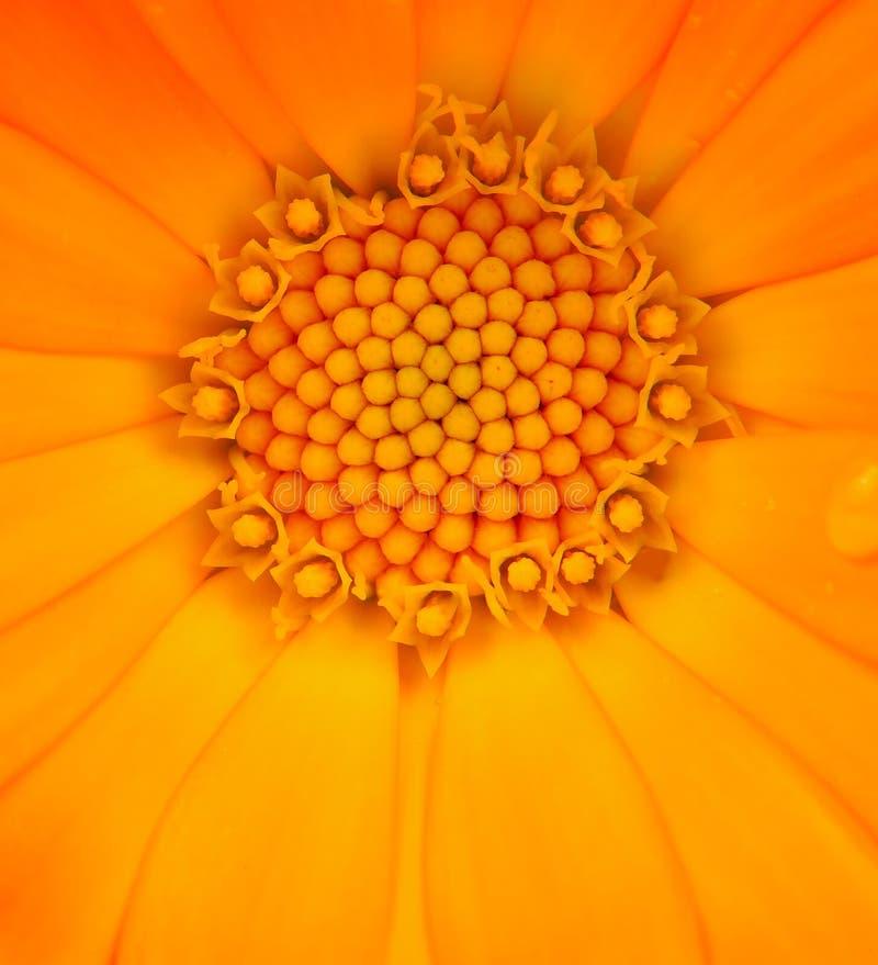 金盏草在白色背景的Officinalis (金盏菊)宏指令 库存照片