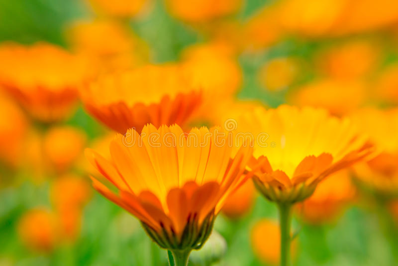 金盏草花关闭在被弄脏的背景 橙色花 一个医药草本 图库摄影