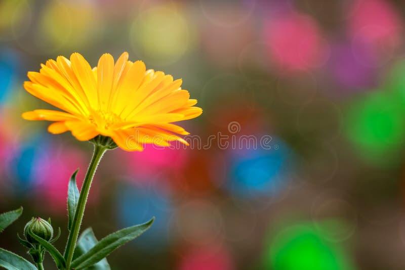 金盏草officinalis (橙色花;罐Marigold); 免版税库存照片