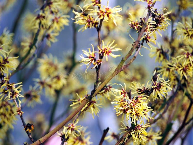 金缕梅-在盛开的金缕梅 免版税库存图片