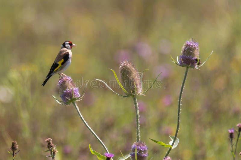 金翅雀& x28; Carduelis carduelis& x29;哺养在起毛机& x28; 充分川续断属 图库摄影