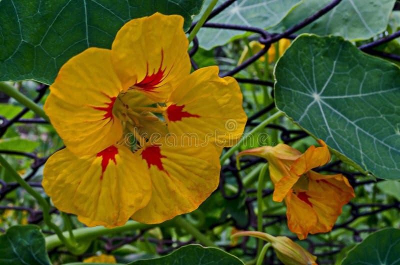 金莲花、印度水芹或者金莲花属majus在夏天庭院里,Jeleznitsa,Vitosha山开花  免版税库存照片