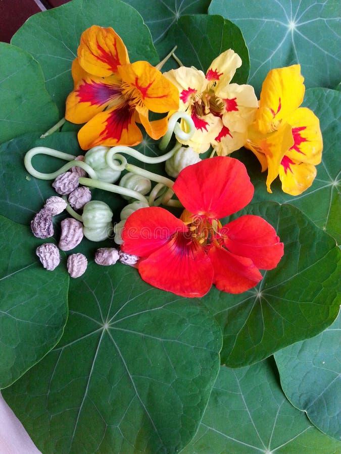 金莲花不同的色的开花加上绿色种子和干riped种子 库存图片