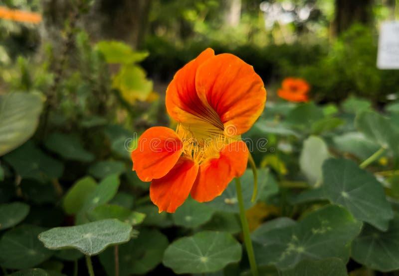 金莲花属majus花 旱金莲、印度水芹或者修士水芹 免版税库存图片