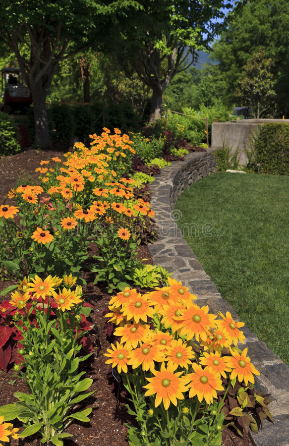 黄金菊在庭院里 免版税图库摄影