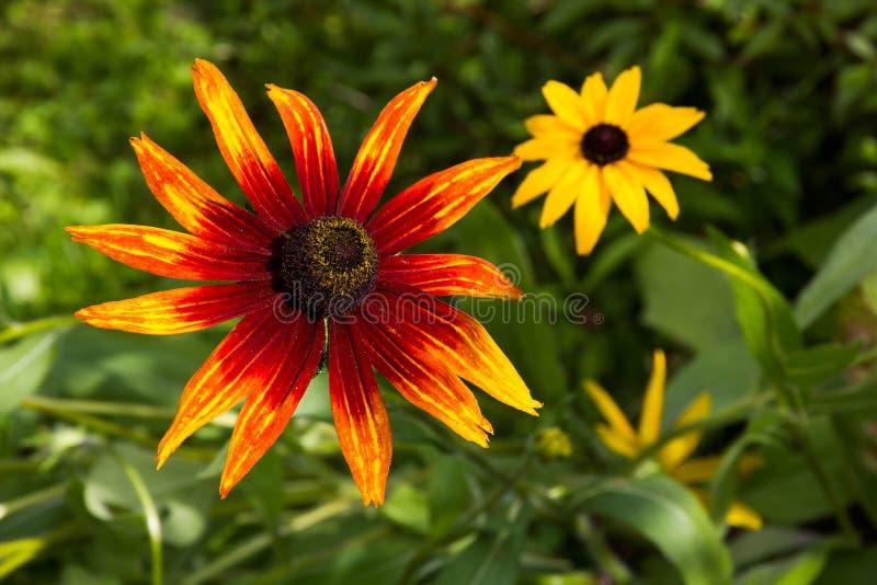 Download 黄金菊花。 库存图片. 图片 包括有 黄色, 橙色, browne, 7月, 雄芯花蕊, 户外, 图象, bossies - 30332445