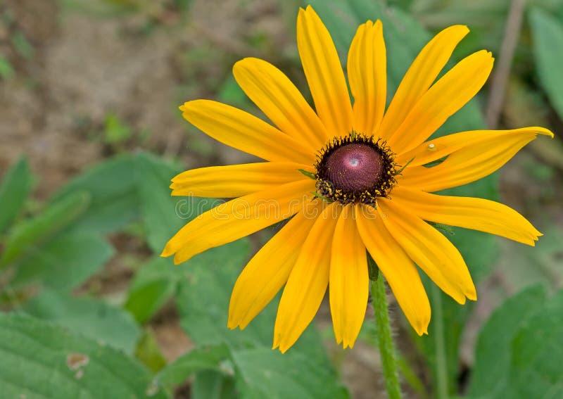 黄金菊hirta和蜘蛛 库存图片
