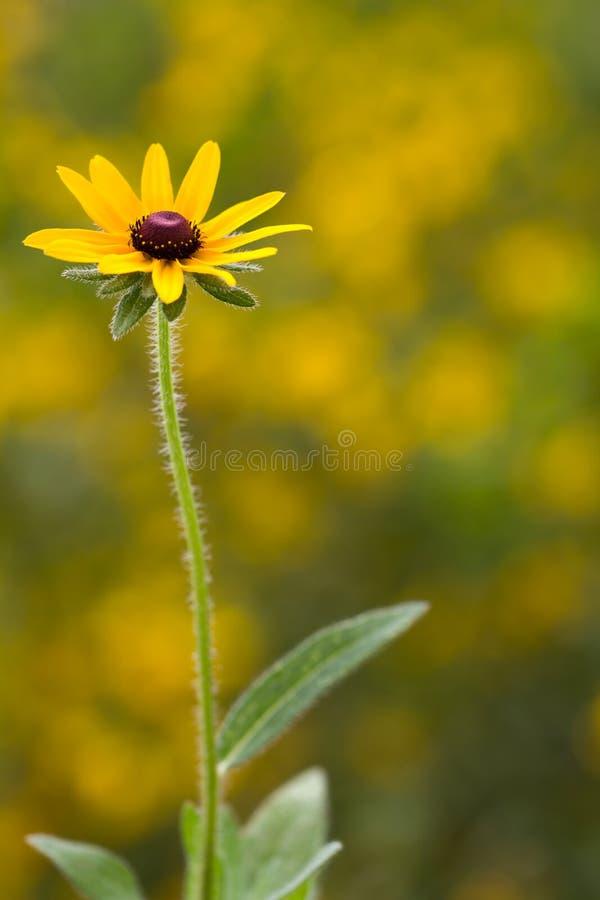 黄金菊hirta花和植物 库存照片