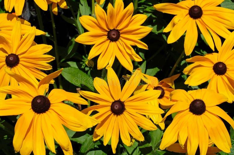 黄金菊hirta,共同地称黑眼睛的苏珊, Mainau海岛,德国 免版税库存图片