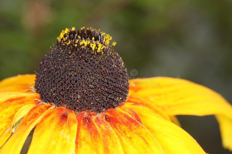 黄金菊hirta,黑眼睛的苏珊花宏指令  图库摄影