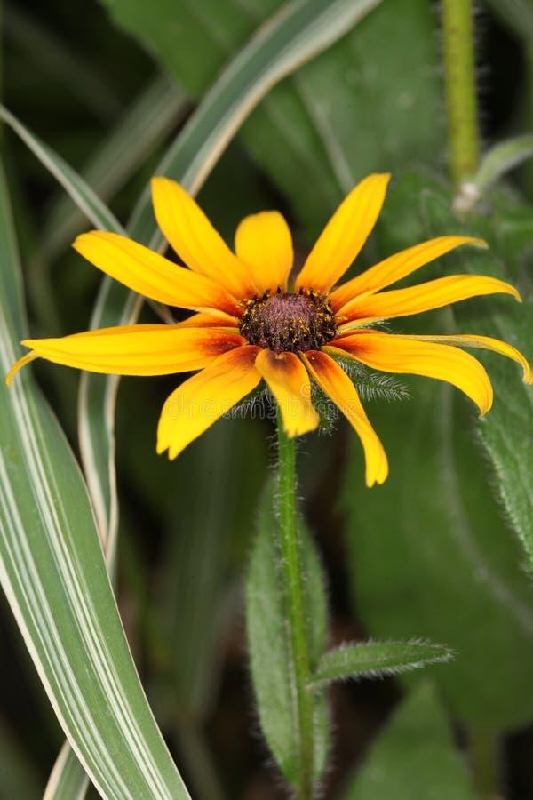 黄金菊hirta,黑眼睛的苏珊花 库存照片
