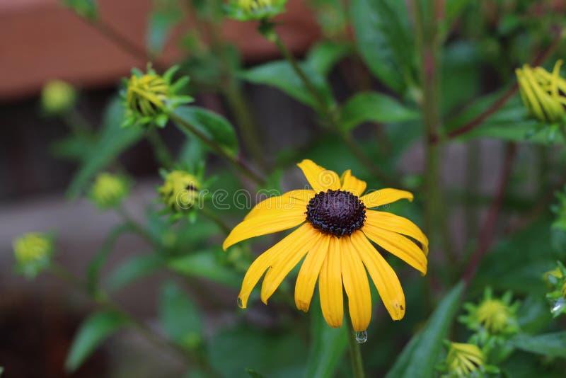 黄金菊hirta L,黑眼睛的苏珊 免版税库存图片