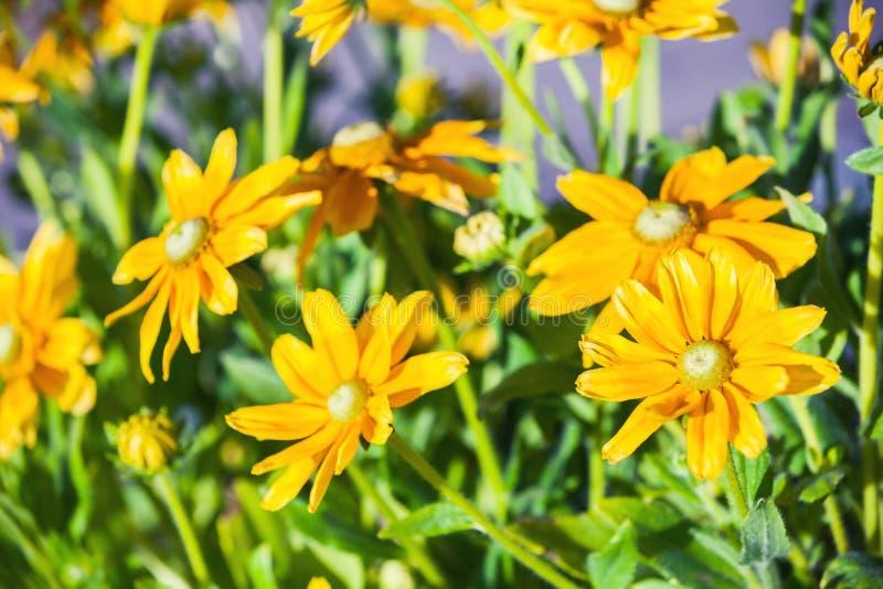 黄金菊nitida,明亮的黄色花 库存图片