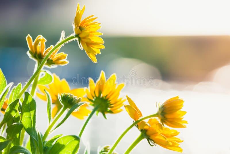 黄金菊nitida,明亮的黄色花 免版税库存照片