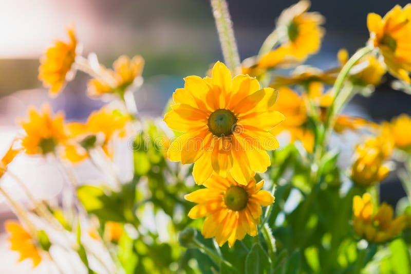 黄金菊nitida,黄色花照片 免版税库存图片