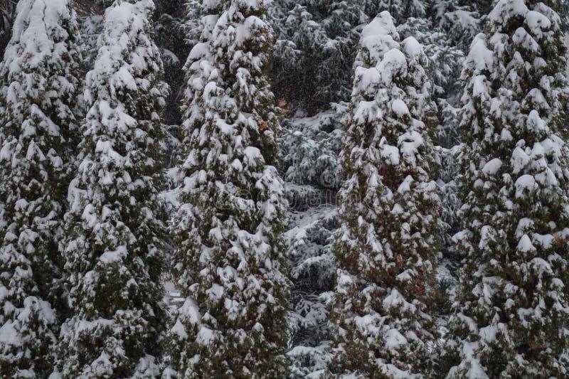 金钟柏在雪下的树背景 图库摄影