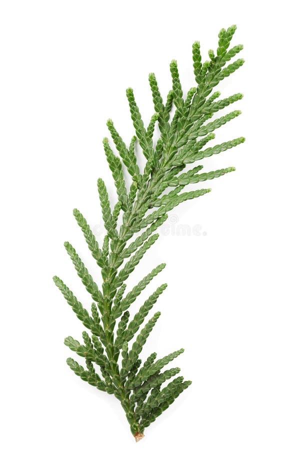 金钟柏的绿色枝杈特写镜头在白色的柏家庭 免版税库存图片