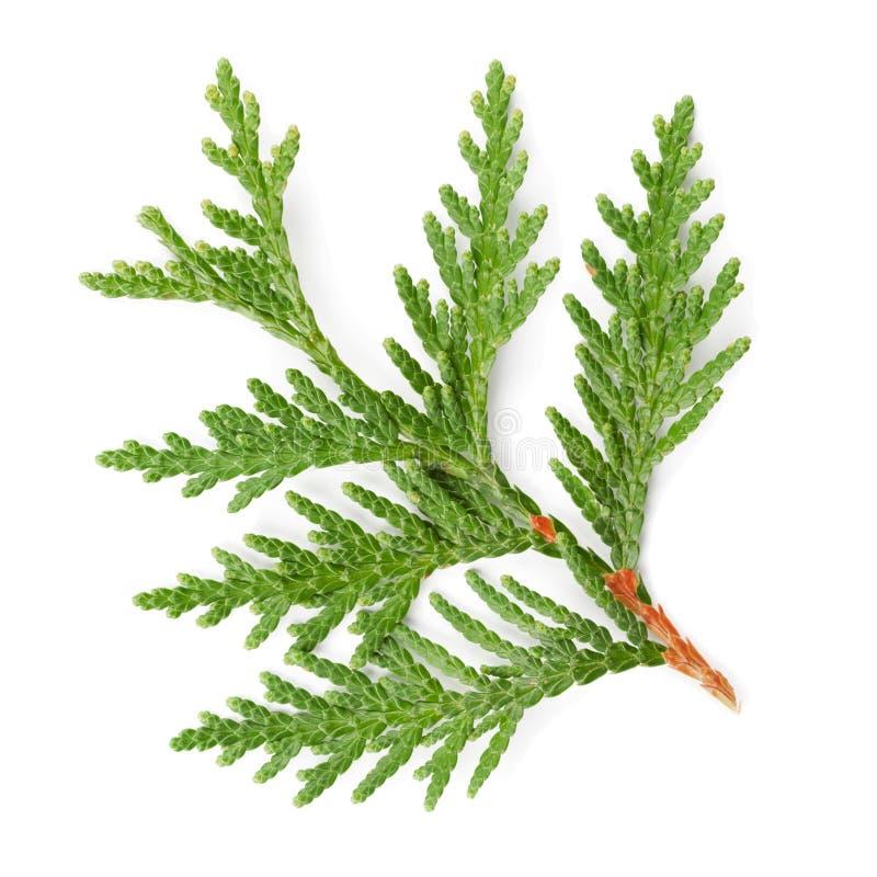 金钟柏的绿色枝杈特写镜头在白色的柏家庭 免版税图库摄影