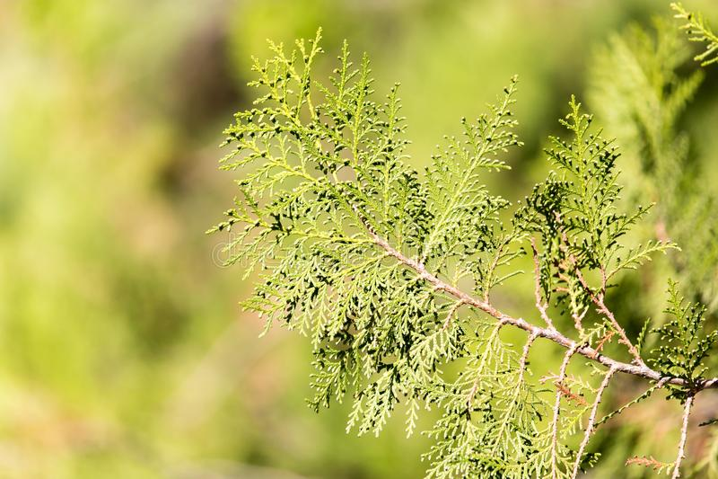 金钟柏结构树绿色套期交易 库存照片