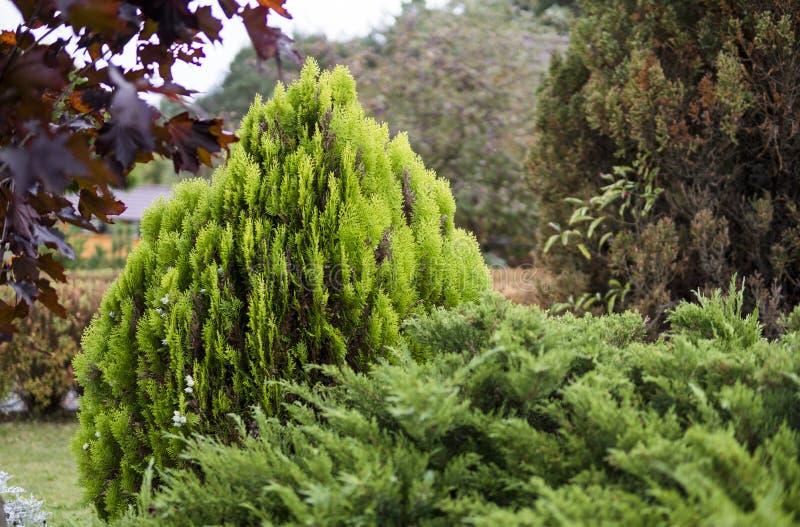 金钟柏结构树绿色套期交易 tui树的绿色树篱 自然,背景 免版税库存照片