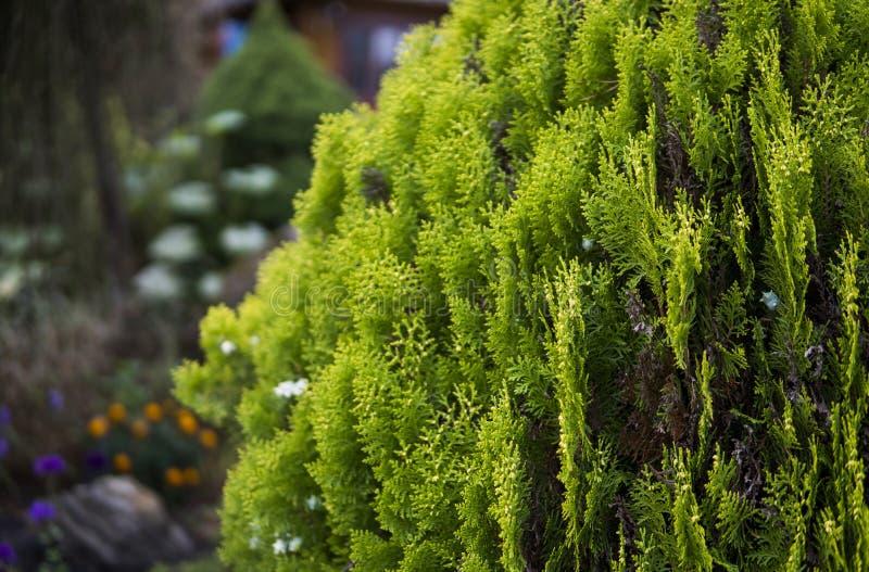 金钟柏结构树绿色套期交易 tui树的绿色树篱 自然,背景 库存图片