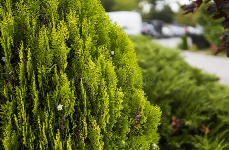 金钟柏结构树绿色套期交易 tui树的绿色树篱 自然,背景 免版税库存图片