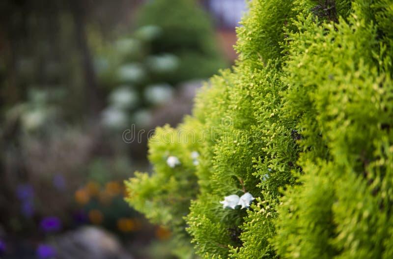 金钟柏结构树绿色套期交易 tui树的绿色树篱 自然,背景 库存照片