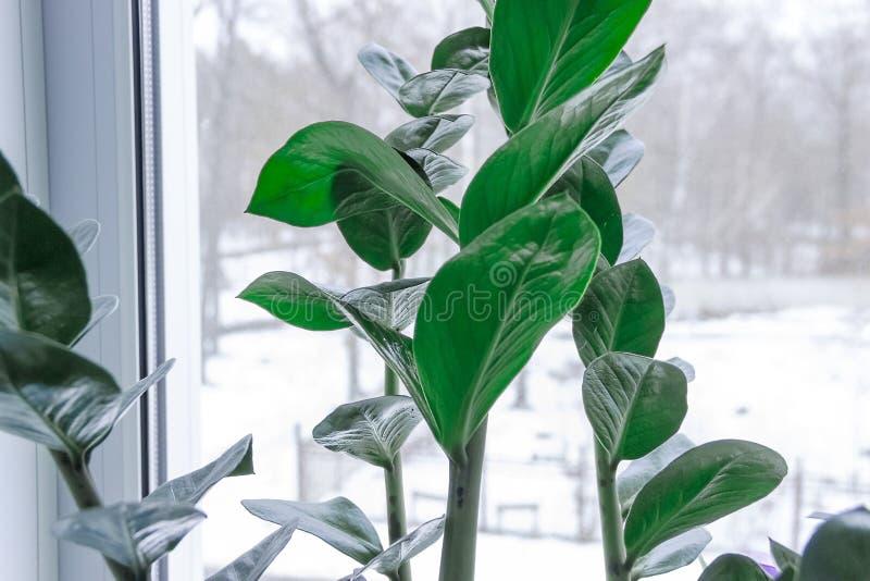 金钱树说带来绿色植物 库存照片